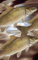 Carp — Queen of Rivers or Pig With Fins?